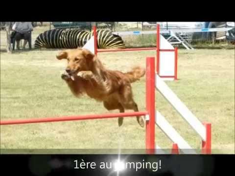 concours agility golden retriever