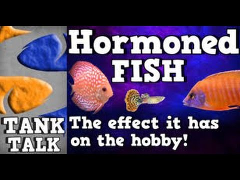 Hormoned/Juiced African Cichlids, Tank Talk Presented By KGTropicals