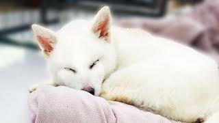 하얀 여우를 닮은 강아지 분양 받았어요 (곰이탱이 동생 깜짝 공개합니다)