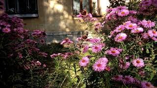 БАБОЧКИ ЦВЕТЫ ОСЕНЬ BUTTERFLY FLOWERS AUTUMN