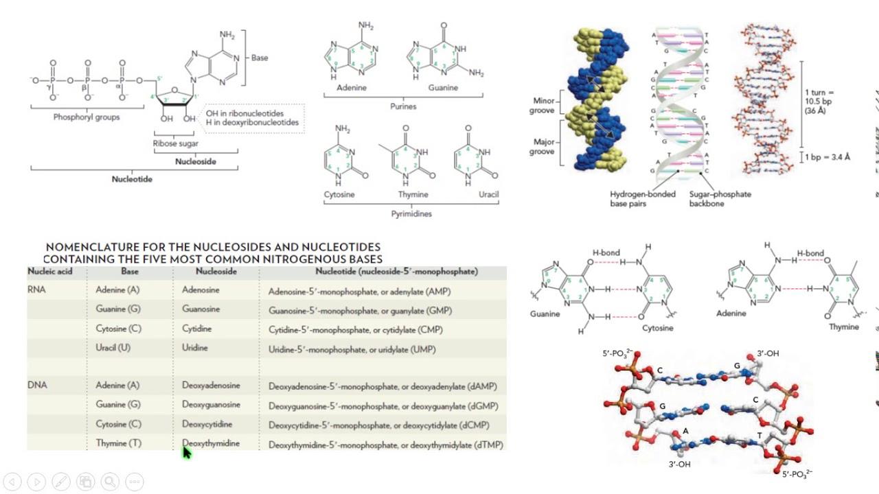 Dna Rna Estructura Bases Nucleótidos Biología Molecular