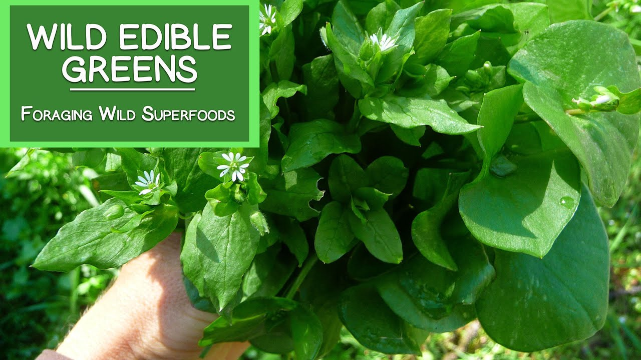 Wild Edible Greens Foraging Your Own Wild Superfoods