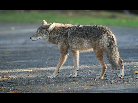 Montreal sets up a coyote hotline