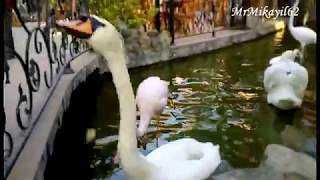 10.04.18. Гуси-Лебеди и Розовый Фламинго