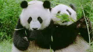 Il panda, ecco 3 curiosità su un animale da preservare