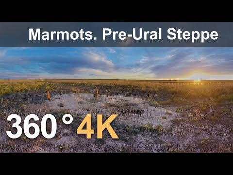 360 Timelapse. Marmots in Orenburg Nature Reserve. Pre-Ural Steppe