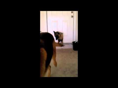 Big Dogs Go Through Little Pet Door Youtube