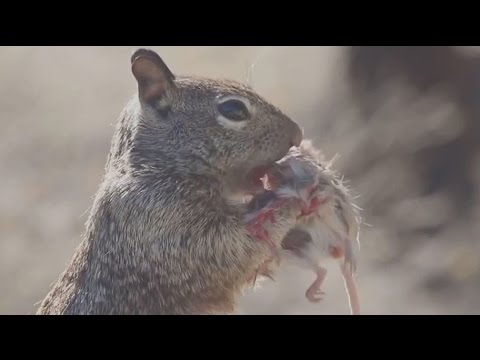 Animals eating animals: Squirrel snacks on a dead mouse; Sharks feast on whale carcass - Compilation