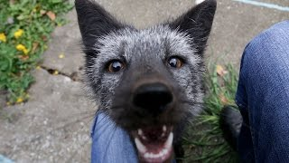 Rare Black Fox is Russian Owners Pet