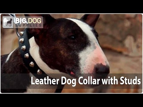 """Lovely English Bull Terrier in """"Vogue"""" Leather Collar with Silver-Like Pyramids"""