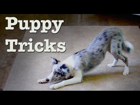 Puppy Tricks 20 Wks - Wish the Border Collie