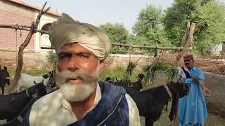 History of kamori goat