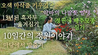 10일간의 정원이야기/오색마삭줄 키우기/정원에 배추모종…