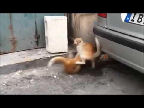 Brigas De Gato Narrado pelo Google Tradutor