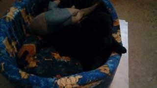 Щенок метис питбуля и лабрадора
