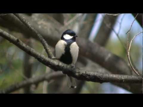 シジュウカラ 鳴き声 種類