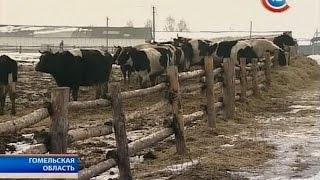 В Гомельской области коровы в морозы ночуют под открытым небом