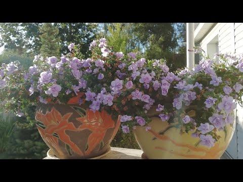 Обрезаю цветущую каскадную ПЕТУНИЮ. Мои разные КАПРИЗНЫЕ цветочки в саду..