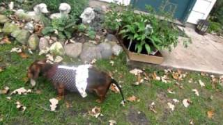 """Midwest Dachshund Rescue Foster """"poppy"""": Taking A Stroll!"""
