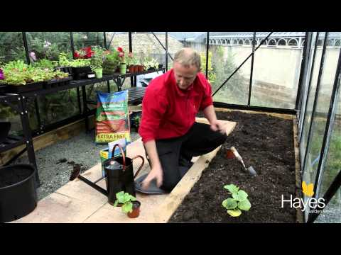 How To Plant Cucumbers In A Greenhouse   Hayes Garden World
