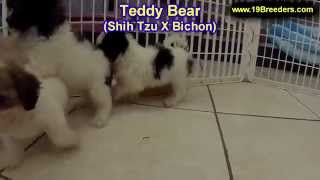 Teddy Bear, Puppies, For, Sale, In, Lexington, County, Kentucky, Ky, Bowling Green, Owensboro, Covin