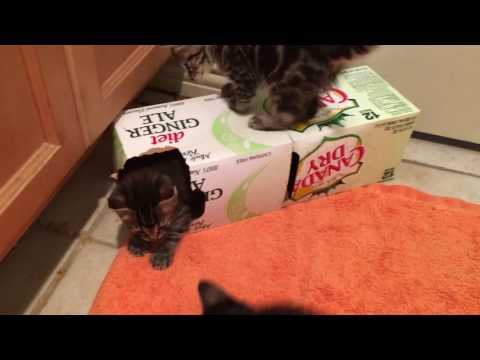Foster kittens play in a box