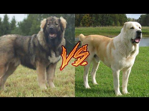 Кавказская овчарка VS Алабая