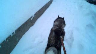 Siberian Husky Sled Dog Training In Concord Nh