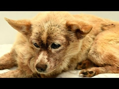 Dog infested with 100,000 fleas makes remarkable recovery