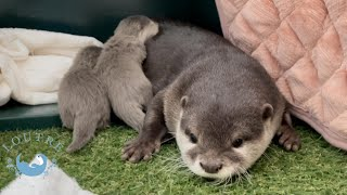 Otter baby & auntie Odashi, first communication!