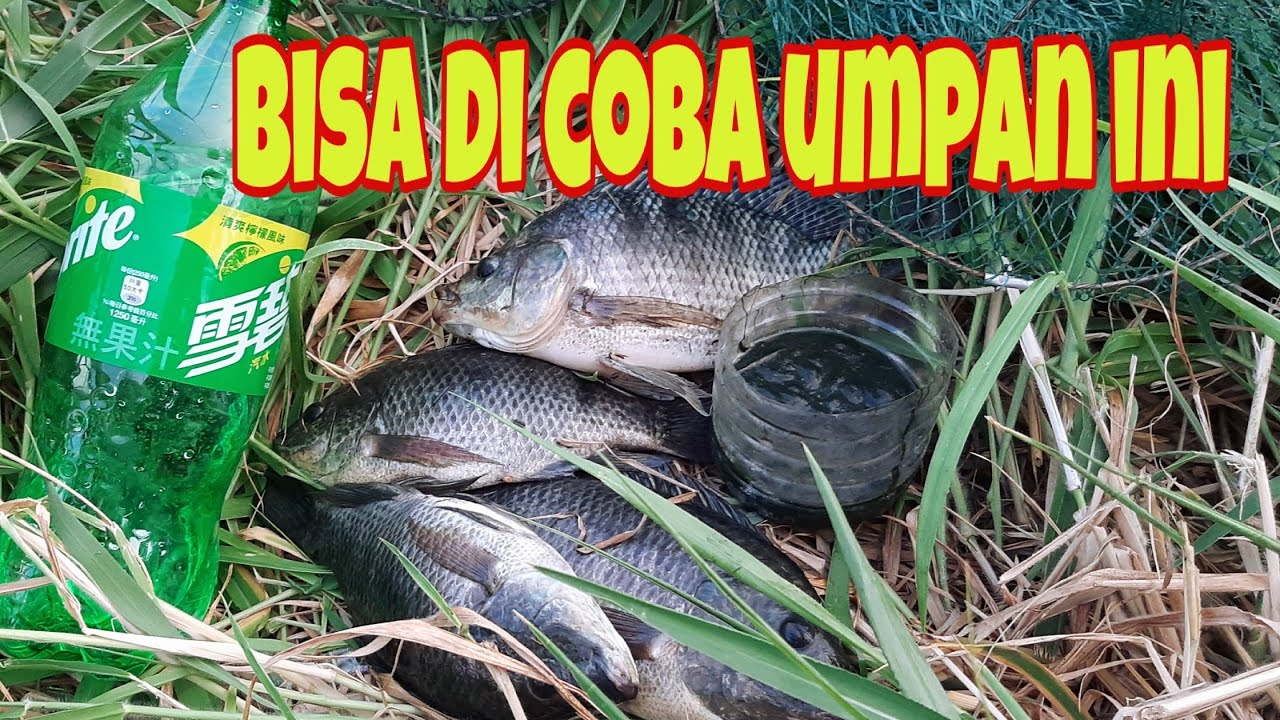 Cara Mancing Ikan Nila Pakai Umpan Lumut dan Racikan ,,,..nya di campur sprite + eceng gondok