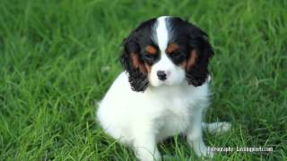 Cavalier King Oregon