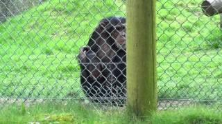 Some Very Irritated Chimps - Monkey World, Dorset - 2015