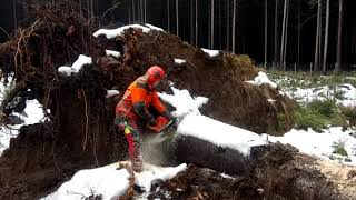 Processing of a tree uprooted by the wind chainsaw Husqvarna 572XP