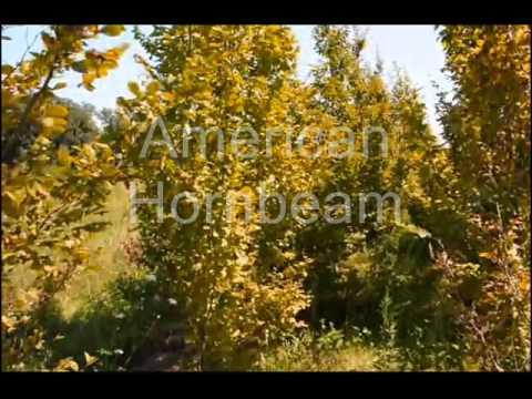 Trees That Flower... Flowering Pear Trees