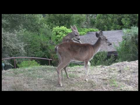Playful Fawn Clip HDh264.mov