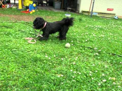 Mitzi A Spayed 2 Year Old Shih Tzucocker Spaniel Mix Needs A Home