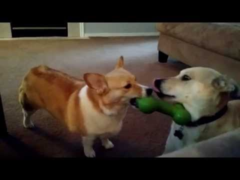 Our corgi is a jerk. Indy, our lab mix is pretty smart!