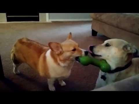 Perro inteligente vs. perro tonto