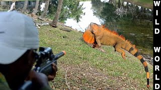 Air Rifle Neighborhood Iguana Removal Job