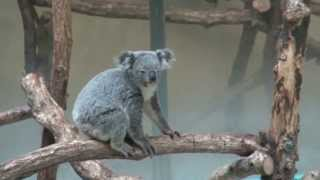 多摩動物公園の人気者「コアラ編」です、小さな子がコアラについている...