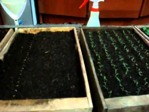 Когда и как сеять помидоры на рассаду
