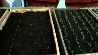 видео Как вырастить рассаду помидор