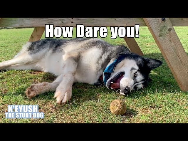 Husky Hates Being Called Lazy! Throws A Tantrum And Tries To Trip Me!