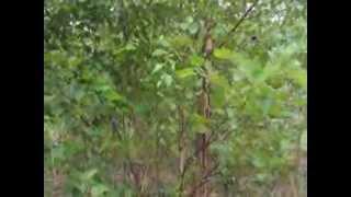 Massive Drastic Sale on River Birch Trees In Bucks County  Pa near Doylestown
