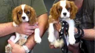 Dharma Cavalier King Charles Episode #3 - Les Retrouvailles