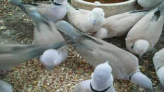 WHAT SEEDS DO DOVES EAT AND LIKE THE BEST?