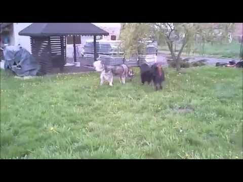 Tibetan Mastiff & Alaskan Malamute