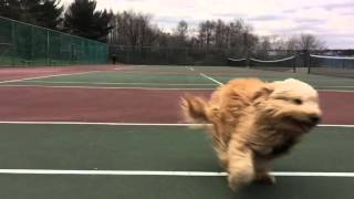 Goldendoodle Running in Slo-mo