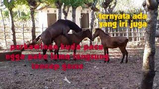 Proses Perkawinan Kuda Pacu #tomi_wijaya #mancingkarodolan